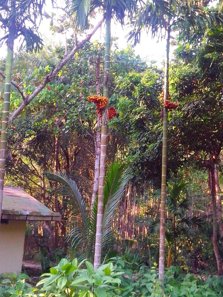Beetle nut trees